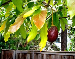 Plant an Avocado Tree in your backyard