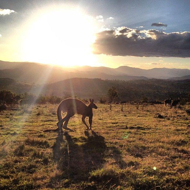Kangaroos near Canberra  #Australia     by roadtrip_australia (instagram)