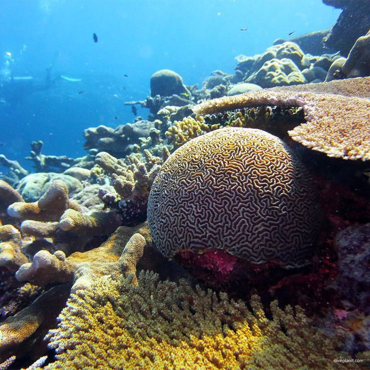 Brain coral amongst the acropora diving Mbigo Mbigo at Munda Solomon Islands ----------------------------------------------------- @VisitSolomonIslands @divemunda #diveplanit #scuba #scubadiving #scubadive #marinelife #diving #underwater #underwaterworld #underwaterphoto #underwaterphotography #ocean