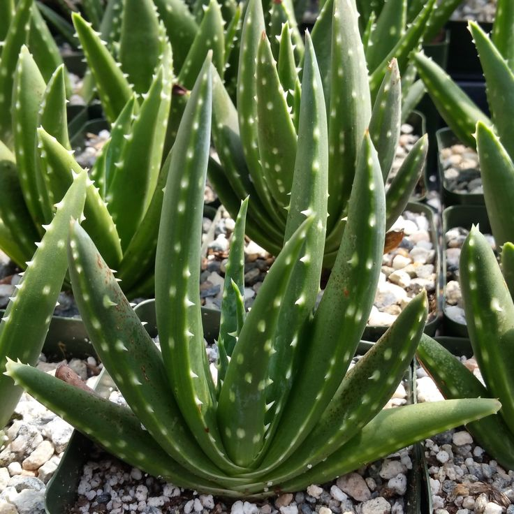 17 best images about aloe on pinterest rare succulents aloe vera and agaves. Black Bedroom Furniture Sets. Home Design Ideas