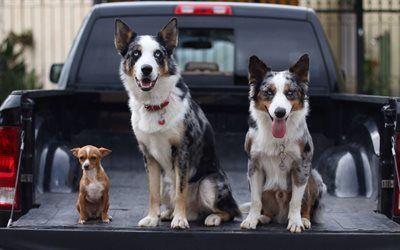 Scarica sfondi pickup, border collie, tre cani, chihuahua