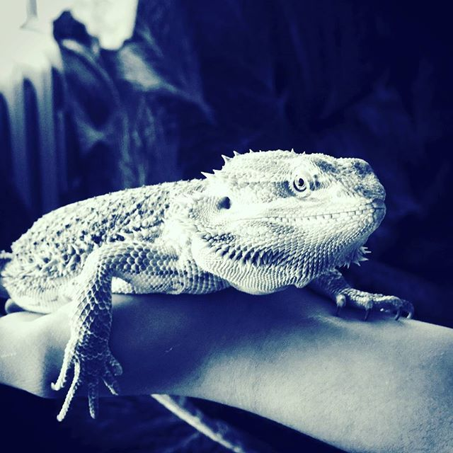Agi on my hand. #pogonavitticeps #pogona #beardeddragon #reptile #dragon #beardie #beardies #pet #animal #instagood #photooftheday #nice #dinosaur #swag #animals #desert #australia #czech #thorny #walking #hey #beard #justinbieber #fff #uff #follow4follow #sfs #romance #light #giant