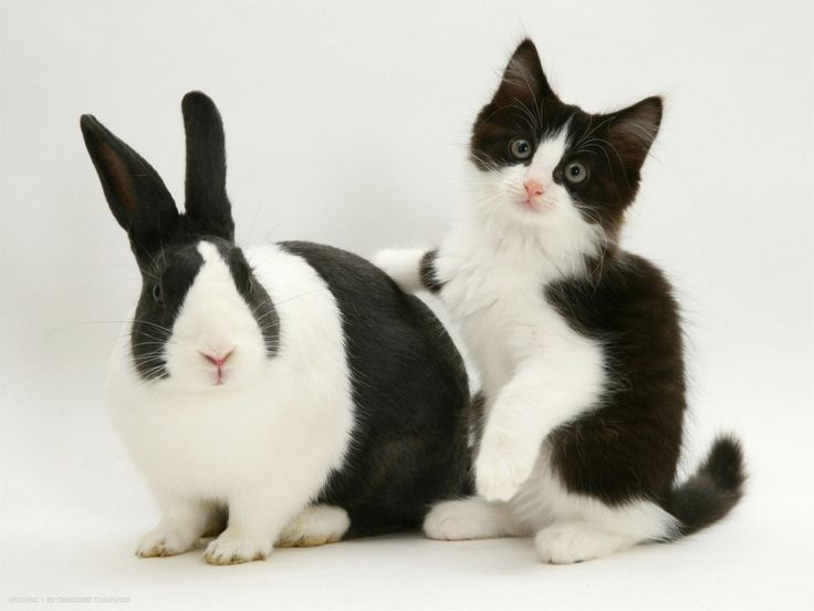 17 best images about cats that look like other animals on