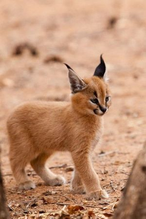 It's hard to believe that this fantastically cute baby lynx could ever