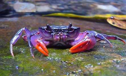 A species of purple crab has been discovered on the island of Palawan in the Phillipines. The new species is very tiny – just one to two inches wide – so bright colors indeed would probably be an advantage for recognition by other crabs of the same species in habitat where so many other objects are much larger