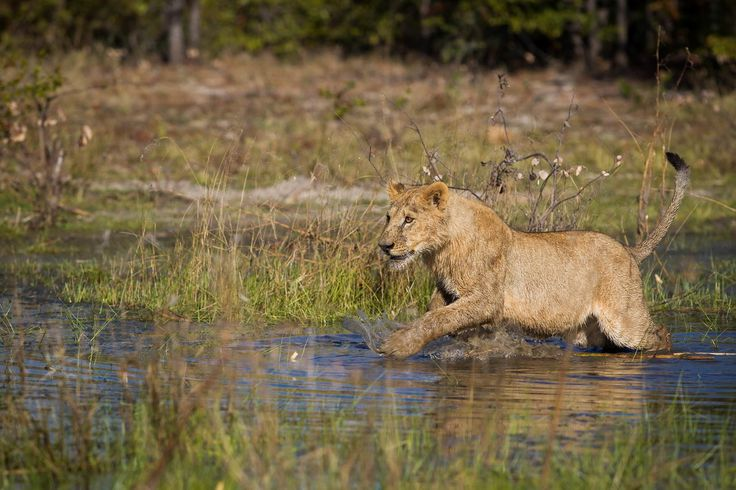The lions at Qorokwe are habituated to the permanent water #OkavangoDelta #safari