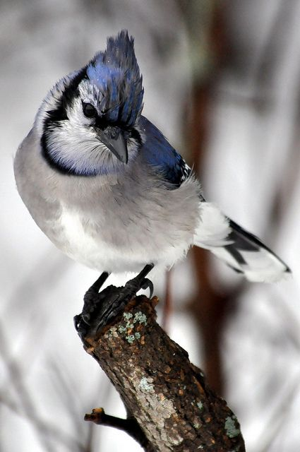 Blue Jay. Beautiful close-up.