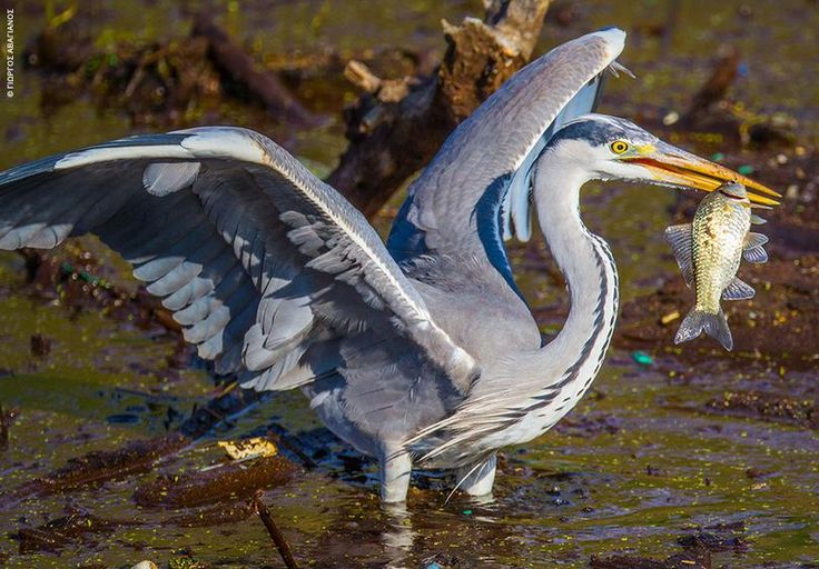 The egret harpoons the fish with its pointed beak - Doiriani Lake, Macedonia Greece