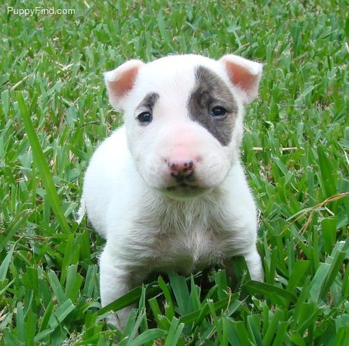 Chubby wubby English Bull Terrier Pup