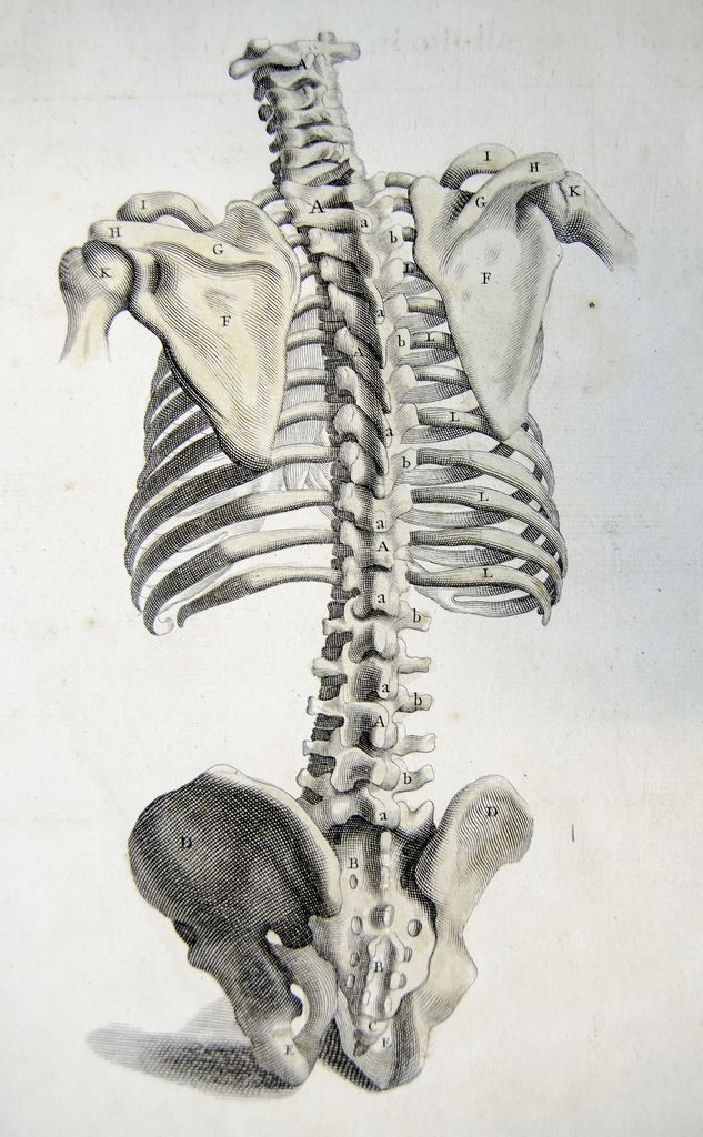 Rear view of the bones of the torso. Anatomy improv'd and illustrated with regard to the uses thereof in designing. (London: John Senex, 1723).