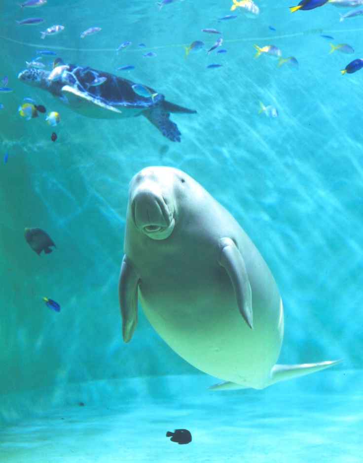 1000 images about beautiful manatees on pinterest Manatee aquarium