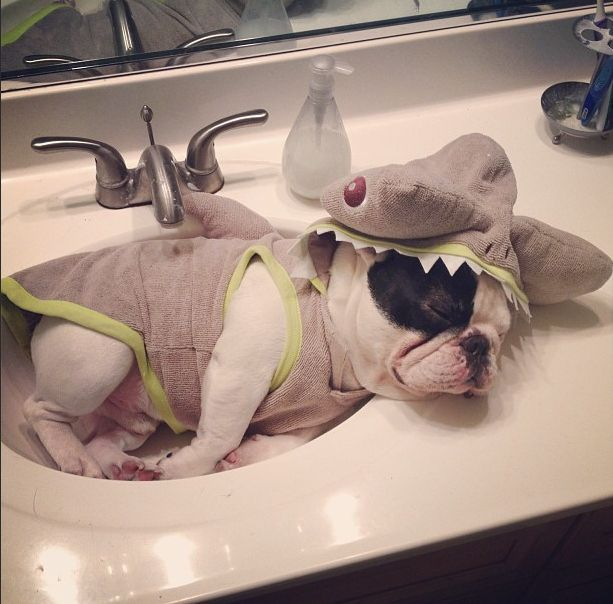 1. Manny The Frenchie | 12 French Bulldogs You Need To Be Following On Instagram