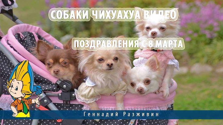 Собаки чихуахуа видео.Поздравления с 8 марта