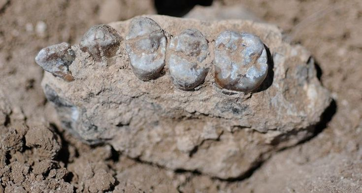 LUCY'S RELATIVE  Fossils discovered in Ethiopia, including this partial upper jaw with teeth, come from a hominid species that lived alongside Lucy's species between 3.5 million and 3.3 million years ago, researchers say.  ~~ Y. Haile-Selassie