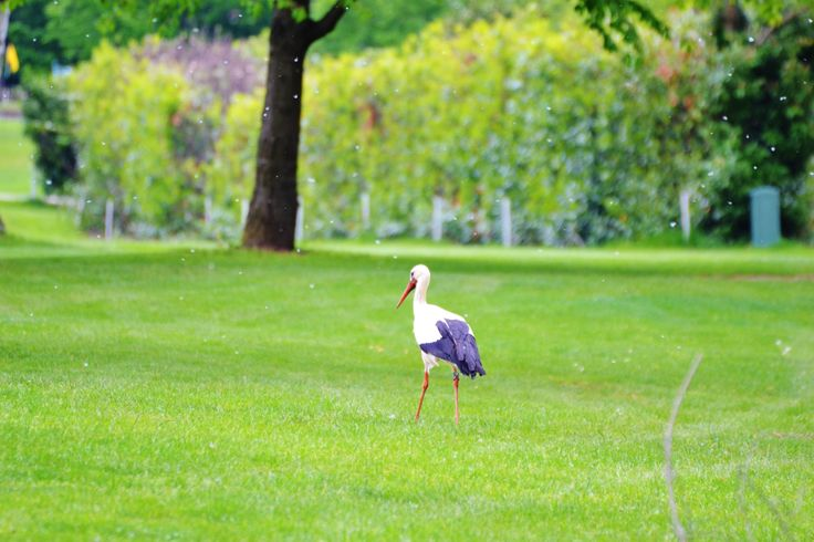 A stork at the Golf Club Udine - Italy
