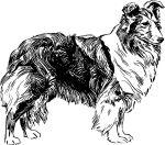 Owczarek szetlandzki Sheltie http://www.szkola-doberman.pl/szkolenie-psow/owczarki-szetlandzkie-sheltie-wychowanie-i-szkolenie/
