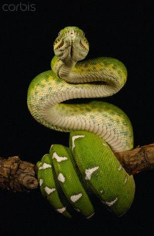 Emerald Tree Boa - Amazon, Ecuador