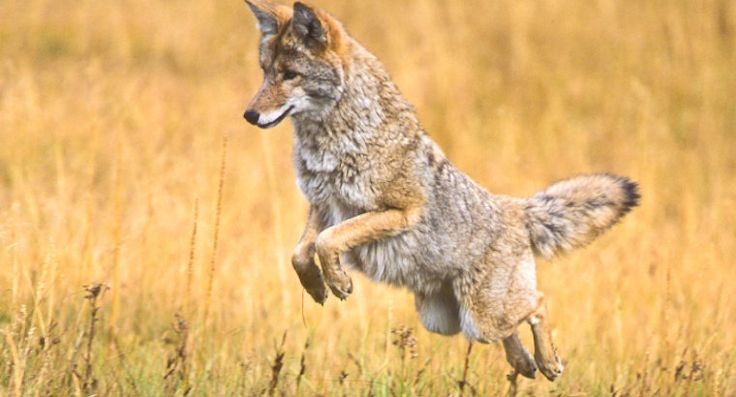 Petición · End the Coyote bounty hunt in Utah · Change.org -Last year, hunters killed more than 12,000 coyotes in the state of Utah. Half of those were rewarded with a $50 bounty that the Utah Division of Wildlife Resources (DWR) set aside to encourage the animals' annihilation.