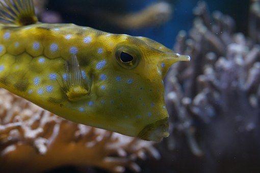 Kofferfisch, Κλείνω, Υποβρύχια