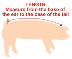 Weighing a Pig Without a Scale. Use a fabric tape to measure the heart girth and the length. Square the heart girth, multiply that by the length, and divide by 400. Easy Peasy!