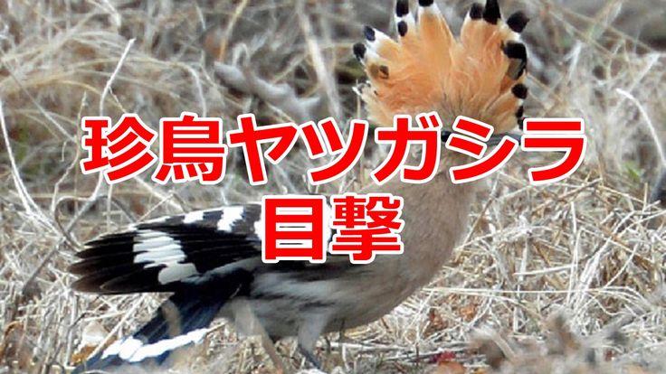 珍鳥ヤツガシラ 目撃