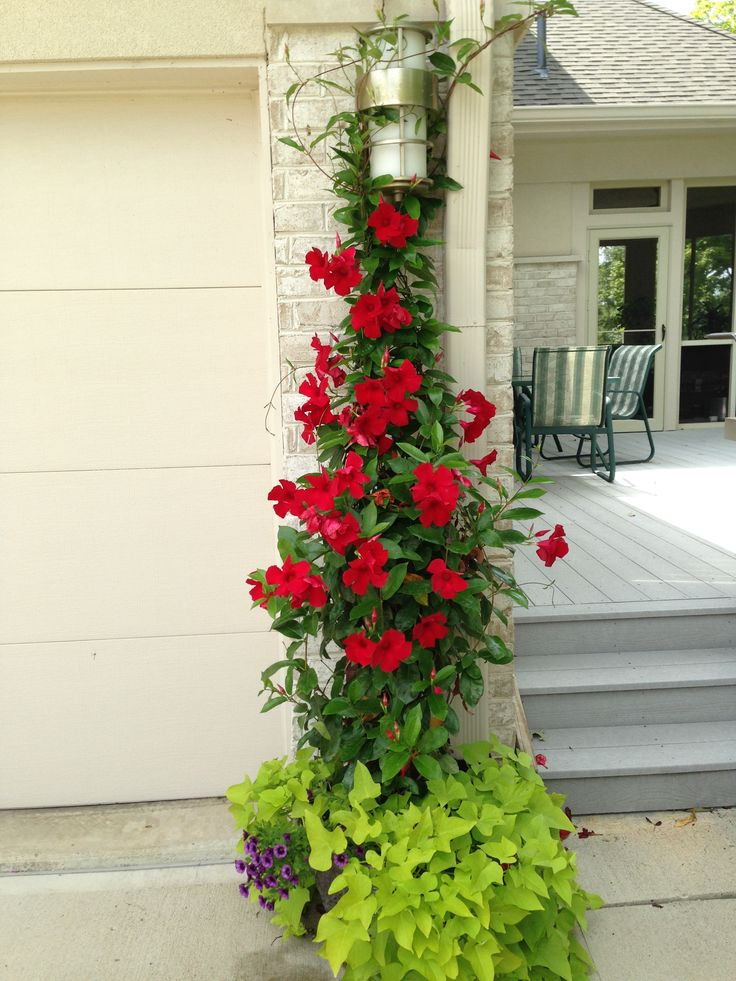 red mandevilla, potato vine, and grape calibrachoa at Quadri