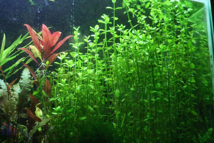 Floating Plants Betta Fish