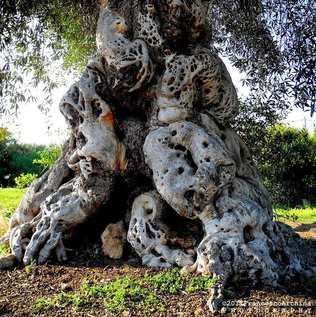 ULIVO - TREE - ALBERO - PUGLIA - BRINDISI - BORGO EGNAZIA by Francesco Archinà & Aurora, via Flickr
