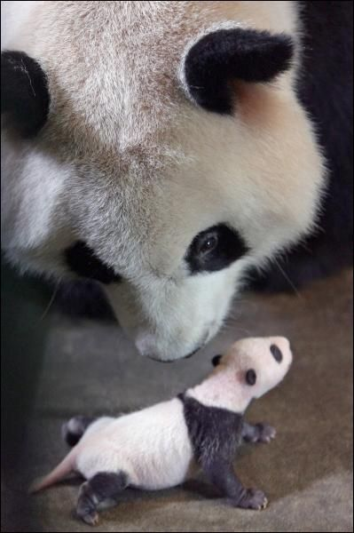One day this baby panda will grow to be a giant panda!