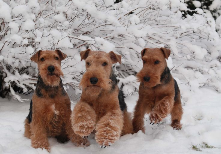 Welsh Terrier a beautiful british breed of dog