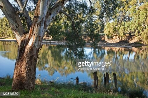 Stock Photo : Old River Red Gum, Eucalyptus Camaldulensis, on the Murrumbidgee River, Narrandera in New South Wales, Australia