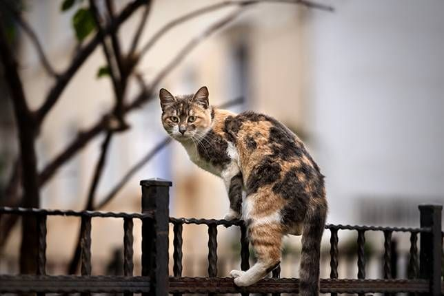 Calico cat climbing fence