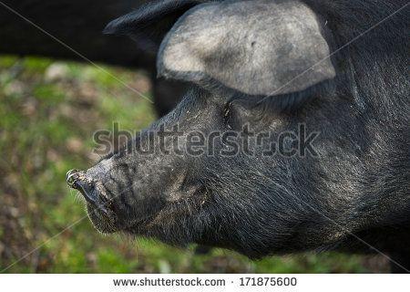 Black Iberian pig on a meadow, closeup, Extremadura, Spain