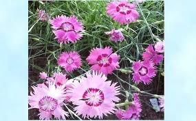 Sulkaneilikka                  Korkeus:10-40 cm           Väri: valkoinen-punainen        Kasvupaikka:aurinkoinen,kuiva,hiekkainen,sorainen,läpäisevä,kalkkipitoinen,vähäravinteinen. Kukinta: heinäkuu