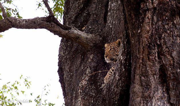West Street Male leopard by Matt Nolden http://blog.malamala.com/index.php/2013/07/24-hours-with-the-west-street-male-2/