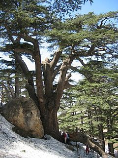 Lebanon Cedar in the Forest of the Cedars of God. Extensive reforestation of cedar is carried out in the Mediterranean region, particularly Turkey, where over 50 million young cedars are being planted annually
