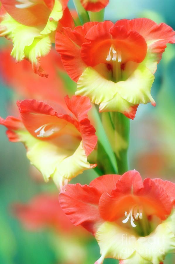 ~~Butterfly Gladiolus Flowers by Maria Mosolova~~
