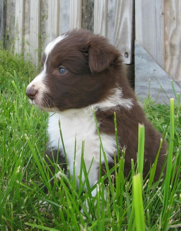 A red and white Border Collie puppy sitting in the grass by an  old barn.