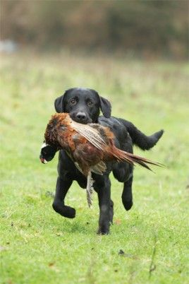 Black Labrador Retriever- retrieving pheasant :) (This is not Abbey, but she did go Pheasant hunting today.)