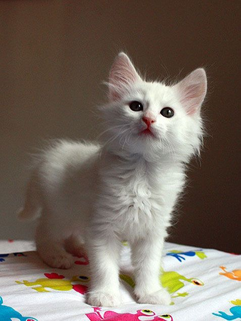 How to groom a Turkish Angora Cat Click the picture to read
