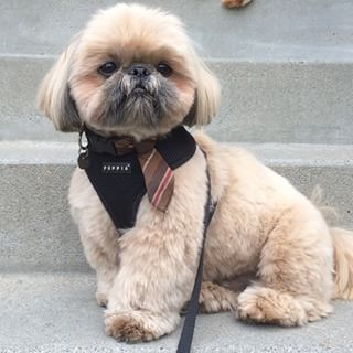 Daily Dougie Just Might Be The Cutest Dog On Instagram