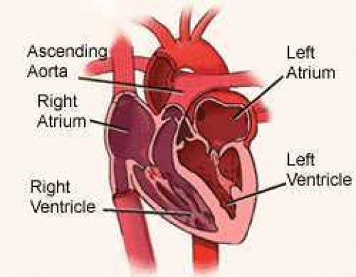 Diagram Picture of The Human Heart (Heart Ablation)