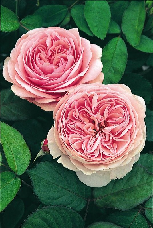 ~Rosa 'Geoff Hamilton' has perfect, antique pink blooms
