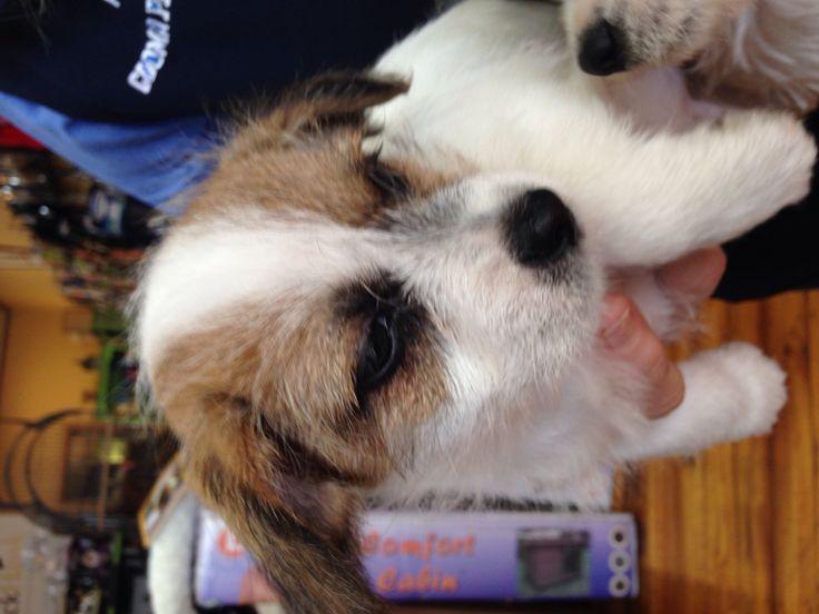 Maltese x Jack Russ puppies