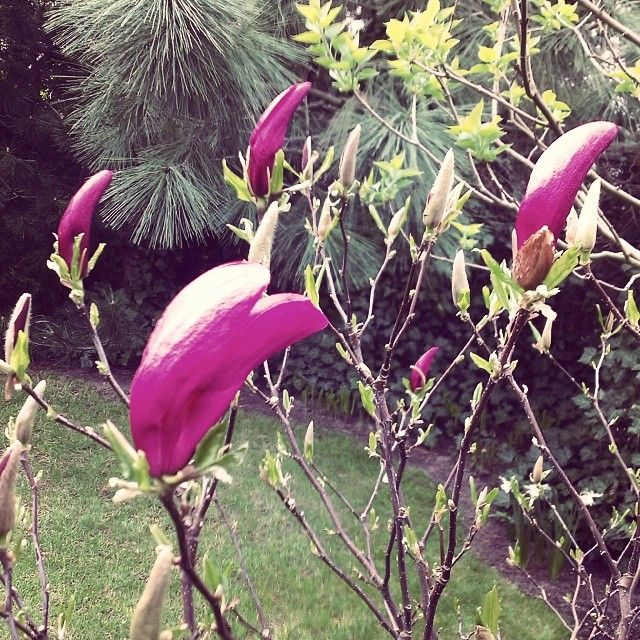 #spring #garden #flowers #magnolia #sun Nowy #blogpost , zapraszam :)