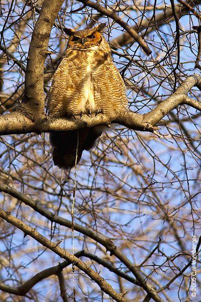 Great horned owl, Central Park, the Ramble Cal Vornberger.