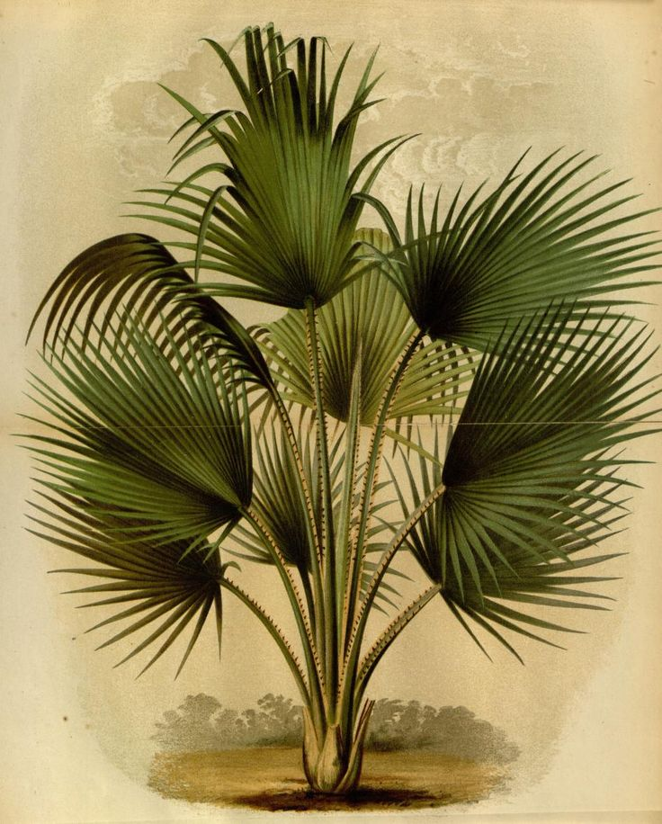 Thrinax Barbadensis, L'Illustration horticole.