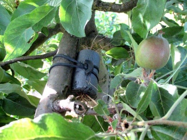 D placer un abri avec les forficules pour lutter contre les pucerons sur les arbres fruitiers - Lutter contre les pucerons ...