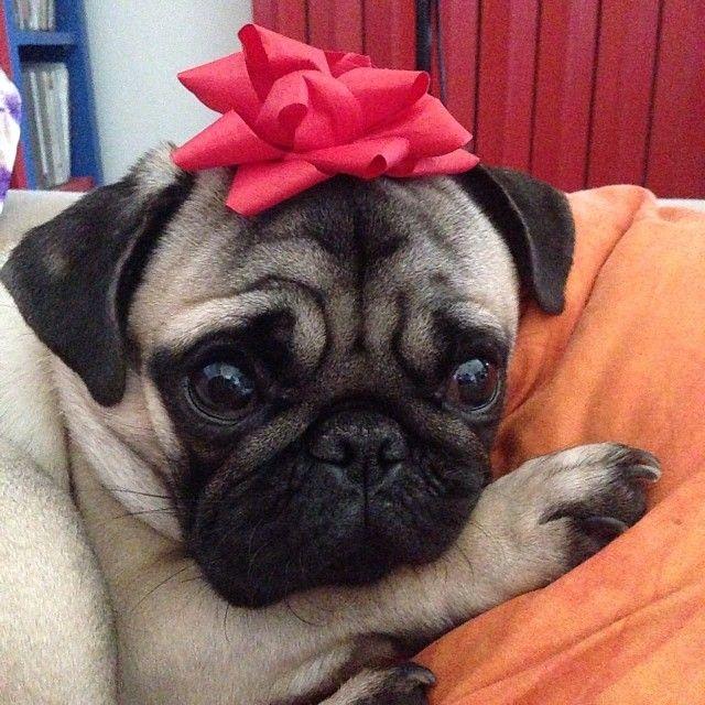 Good Pug Bow Adorable Dog - 912c6cc5d234a45e2767c1973d1a2000--pug-pictures-christmas-animals  Best Photo Reference_155028  .jpg