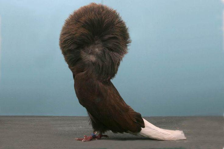 Grand National Pigeon Show champions   Jacobin pigeon ...